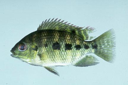 Tilapia raising tilapia freshwater fishpond backyard for Pond fish identification
